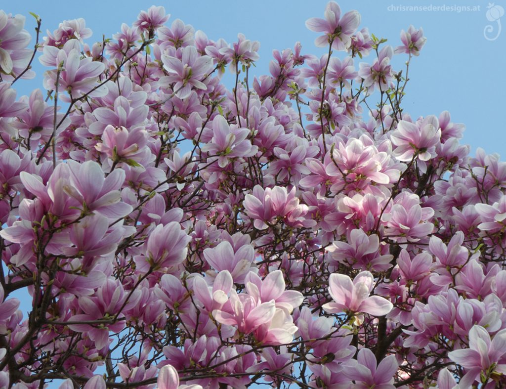 Magnolia tree in full bloom. | Magnolia in voller Blüte.