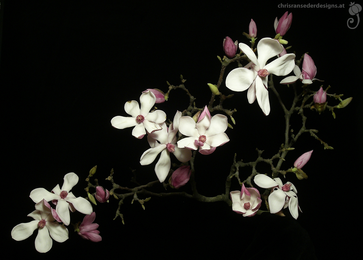 Flowering branch of a magnolia. | Zwei einer Magnolie mit offenen Blüten.