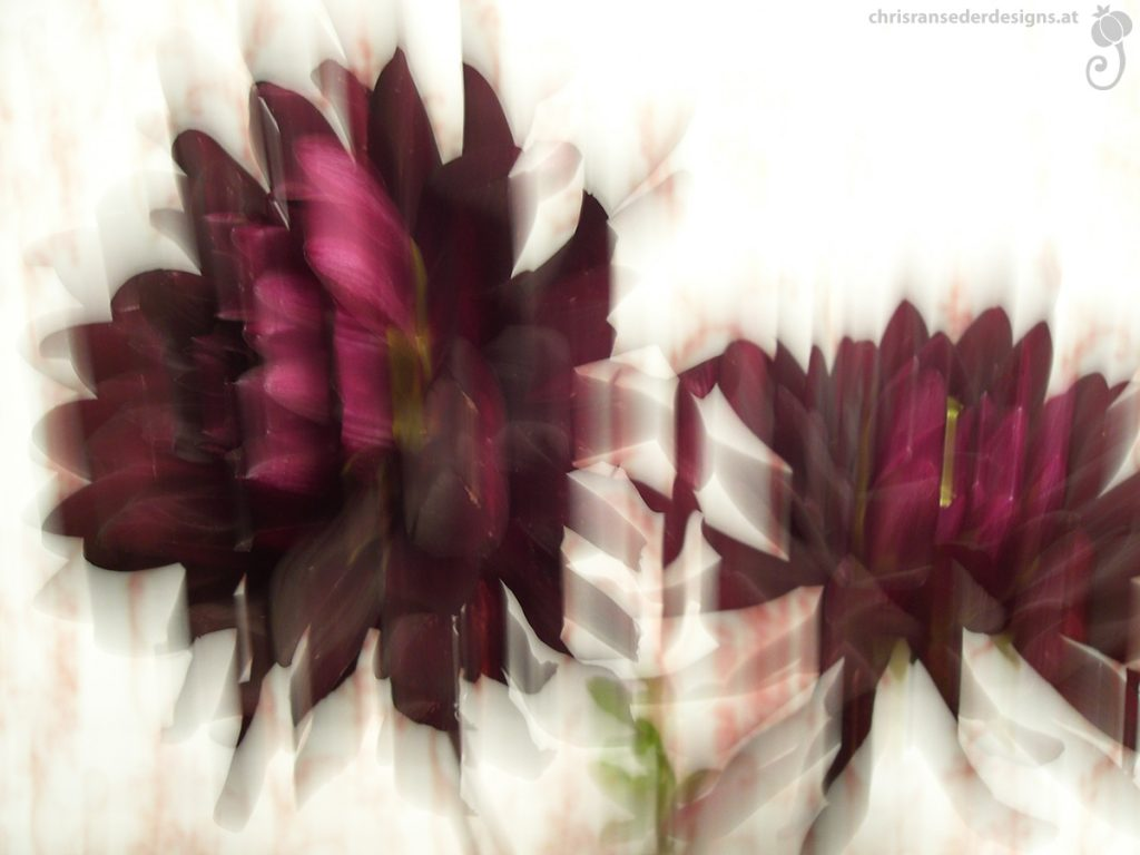 Blurred picture of dark red dahlias. | Unscharfes Foto von dunkelroten Dahlien.