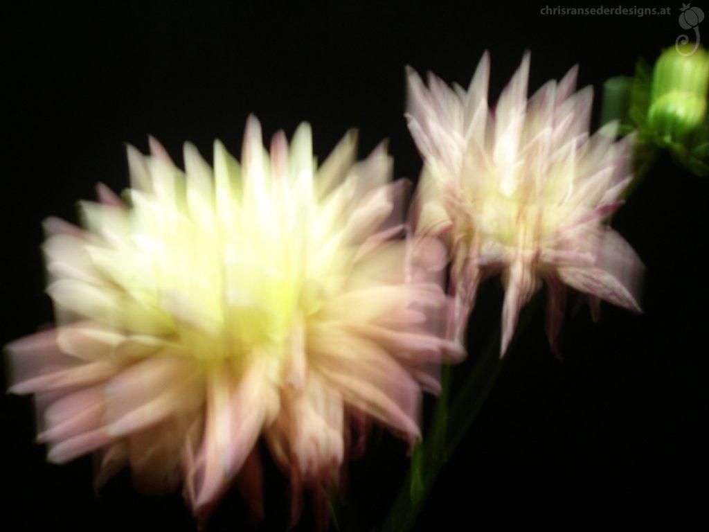 Blurred picture of a yellow and a white-pink striped dahlia. | Unscharfes Foto einer gelben und einer weiß-rosa gestreifeten Dahlie.