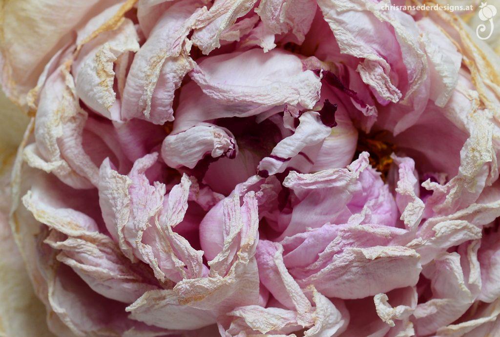Detail of a wilted peony. Detail einer verwelkten Päonie.
