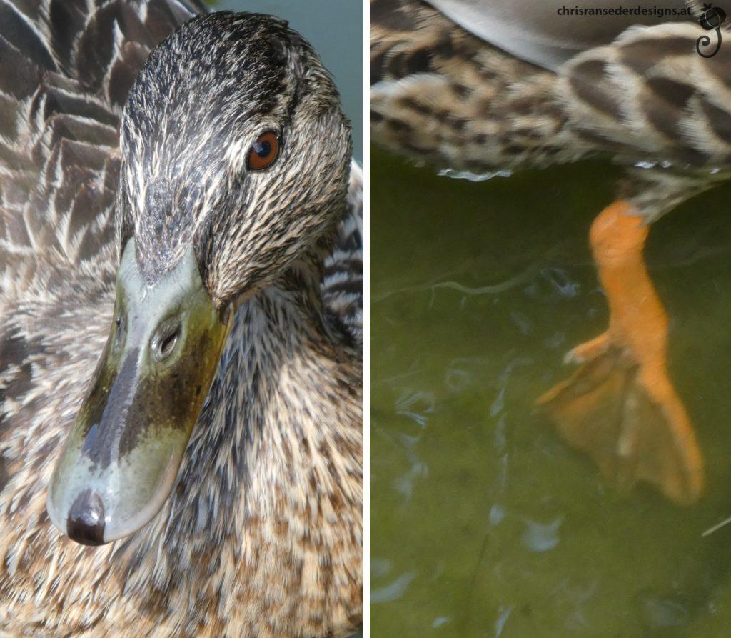 Close-up of the head of a female mallard. Foot of a duck, who is paddling away. | Nahaufnahme einer weiblichen Stockente. Fuß einer davonpaddelnden Ente.